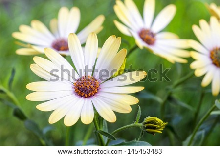 White african moon daisy, oxeye daisy. Wallpaper, background - stock photo