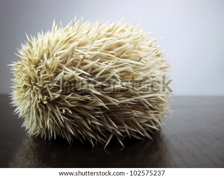 White African posing little hedgehog - stock photo