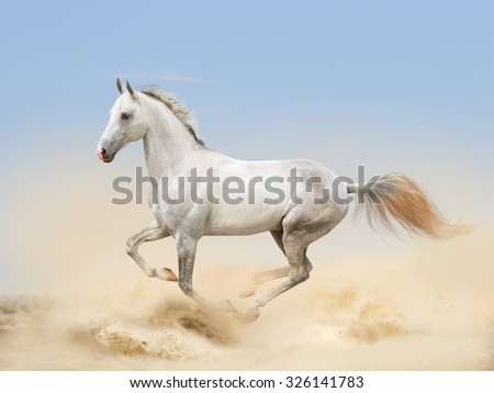 white akhal-teke horse running in desert - stock photo