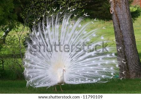 White Albino Peacock - stock photo