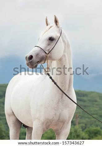 white amazing arabian stallion at sky background - stock photo