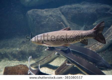 White amur, grass carp (Ctenopharyngodon idella) - stock photo