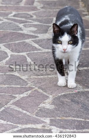 white and black cat ready to attack while looking at you and roaring - stock photo