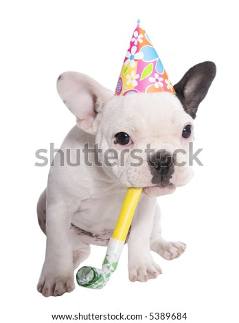White and black French Bulldog puppy with birthday hat and noise maker on white background. - stock photo