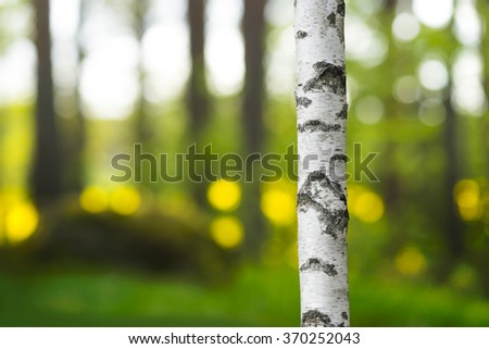 White and black trunk of birch tree in beautiful evening light  - stock photo