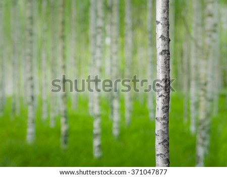 White and black trunk of birch tree in forest in early summer - stock photo