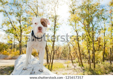 White and brown American Pit Bull Terrier walking on fallen tree - stock photo