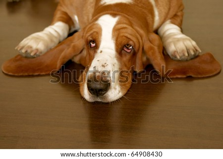 white and brown basset hound on the floor - stock photo