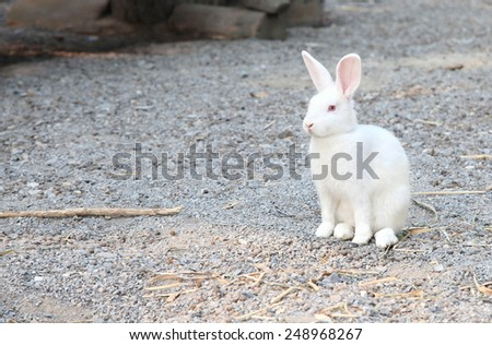 White and brown Rabbit Cottontail bunny rabbit eating grass in the garden.  - stock photo