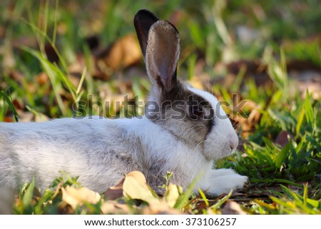 White and brown rabbit sitting in grass - stock photo