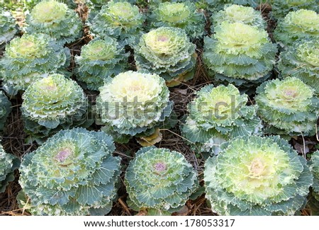 White and green cabbage flowers. - stock photo