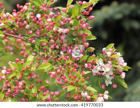 White and pink blossoms on apple tree branches. - stock photo