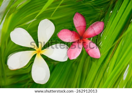 White and pink frangipani on palm leaf  - stock photo