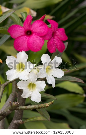 white and pink impala lily on the same tree - stock photo