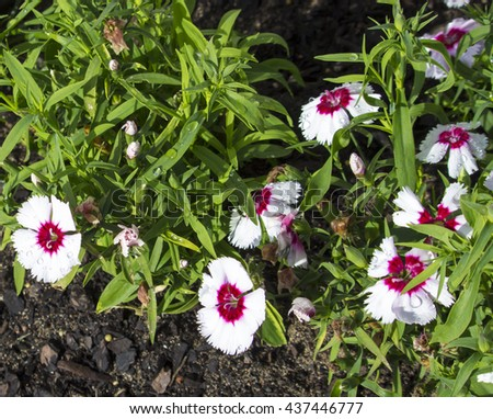 White  and pink  single  Dianthus caryophyllus, carnation  clove pink,  species of Dianthus  blooming in winter  fills  a  garden with a delicious clove  fragrance  and is a  nice  cut flower. - stock photo