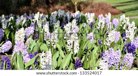 White and purple flower in the garden - stock photo