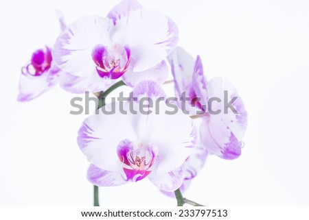 White and purple Phalaenopsis orchids - stock photo