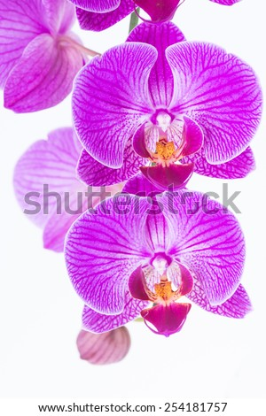 White and purple Phalaenopsis orchids close up - stock photo