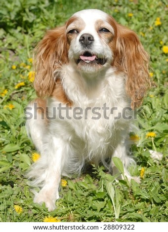 White and red cavalier king charles spaniel  sitting in grass - stock photo