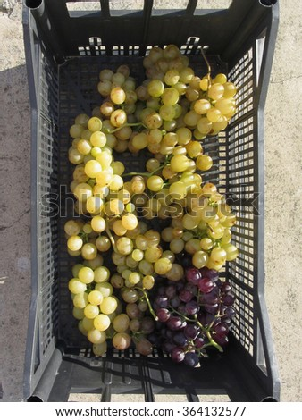 White and red grapes in black plastic box, hand picked just as they ripen from the garden in a Tuscan farm - stock photo