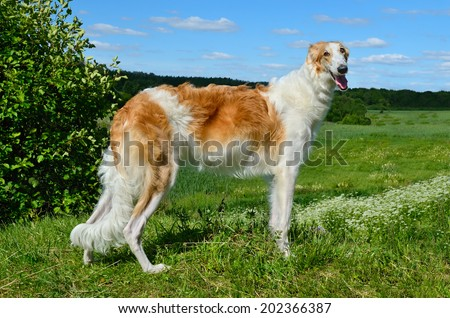 White and red young russian borzoi dog standing on a green summer meadow - stock photo