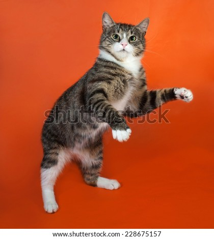 White and striped spotted cat standing on hind legs on orange background - stock photo