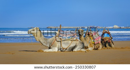 White and two brown dromedary resting  in the morning on the sandy beach of Essaouira, Morocco - stock photo