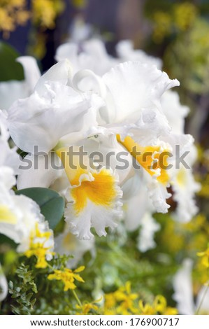White and yellow Cattleya orchids at an orchid show - stock photo