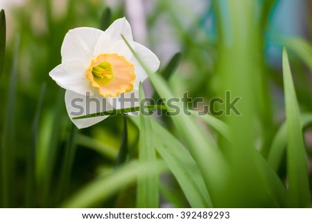 White and yellow daffodil in the green grass. Spring Nature. Spring. Spring flowers. Fresh greens. Warm May - stock photo