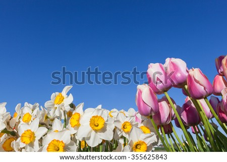 White and yellow daffodils and pink tulips frame the bottom and side of a bright blue sky. - stock photo