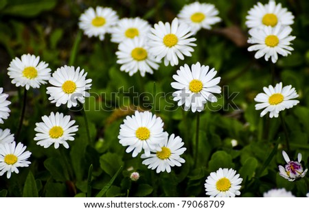 White and yellow daisies with green vegetation in the background - stock photo