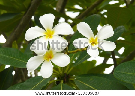 white and yellow frangipani flowers - stock photo