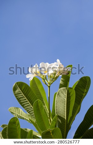 white and yellow frangipani flowers with blue sky  - stock photo