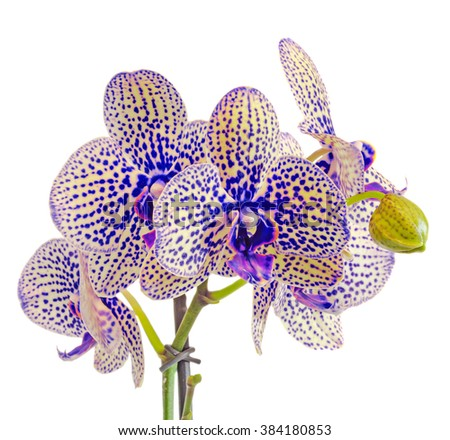 White and yellow orchid flowers with blue spots, buds, Orchidaceae, Phalaenopsis known as the Moth Orchid, abbreviated Phal. White background. - stock photo