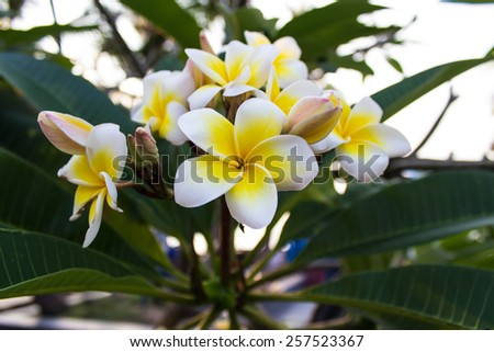 white and yellow Plumeria  - stock photo