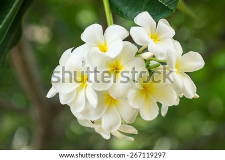 white and yellow Plumeria flower - stock photo