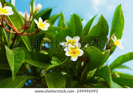 White and yellow Plumeria flowers. (frangipani flowers, Frangipani, Pagoda tree or Temple tree) - stock photo