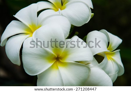White and yellow Plumeria. (Frangipani flowers, Frangipani, Pagoda tree or Temple tree) - stock photo