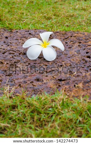 white and yellow plumeria (frangipani) on brown rock background and Grass - stock photo