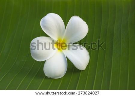 White and yellow Plumeria on natural background. - stock photo