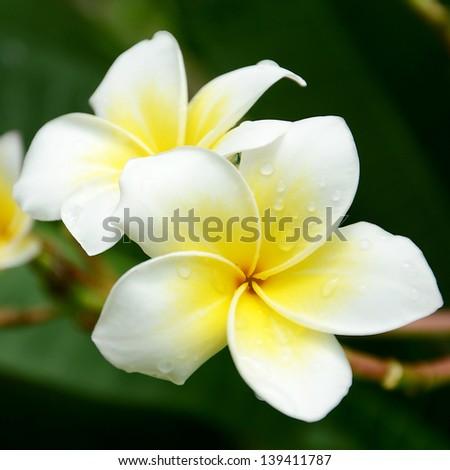 white and yellow Plumeria spp. (frangipani flowers, Frangipani, Pagoda tree or Temple tree) with rain drops on natural background. - stock photo