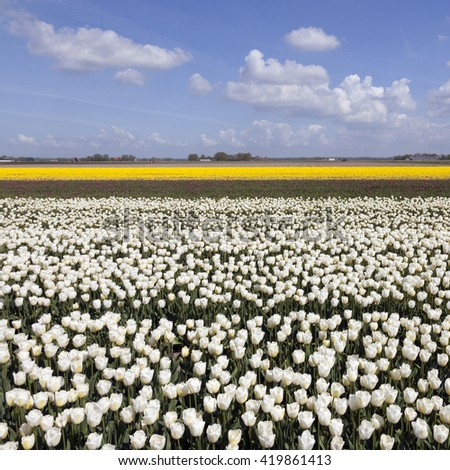 white and yellow tulips in colorful landscape of noordoostpolder with blue sky - stock photo