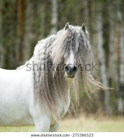 white andalusian shaggy horse portrait in windy spring day - stock photo