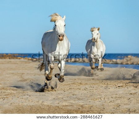 White Antigravity Camargue Horses running on the beach in Parc Regional de Camargue - Provence, France - stock photo