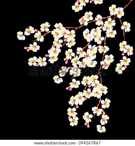 White apricot flowers branch isolated on black background - stock photo