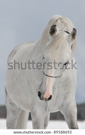 white arab horse in winter - stock photo