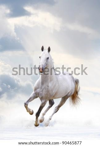 white arabian - stock photo