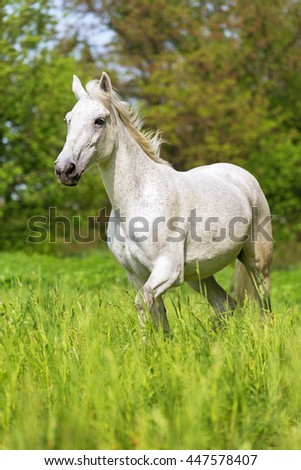 White arabian horse.  - stock photo