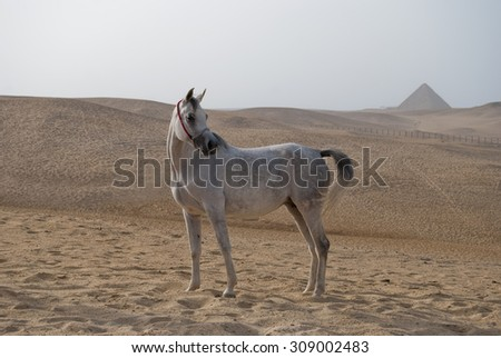 white arabian horse in front of the egyptian pyramids - stock photo