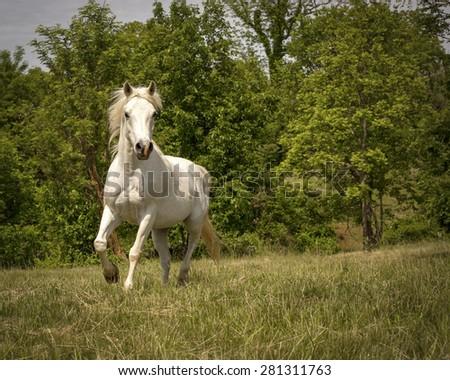 White Arabian horse running towards viewer in green field - stock photo